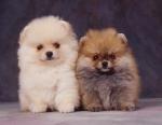 KA_puppy15A